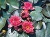 brydon-water-lily
