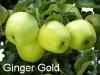 gingergold-2