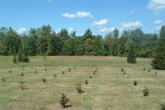 A-new-block-of-Fraser-Fir-Christmas-trees-ready-in-7-to-8-years