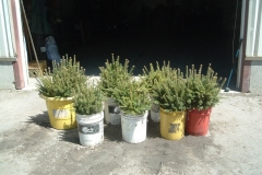 Frasier-fir-transplants-ready-for-planting