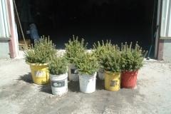 Frasier-fir-transplants-ready-for-planting
