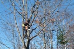 Certified-Arborist-Scott-Davis-pruning-a-young-oak