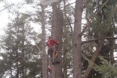 Removing-a-large-broken-white-pine
