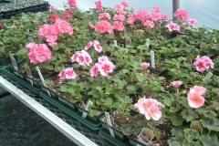 Geraniums flowering in early April