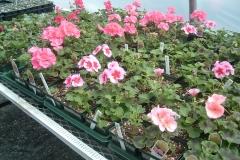 Geraniums flowering in early April