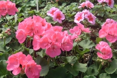 Geraniums in flower already