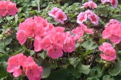 Geraniums in flower - beautiful color.
