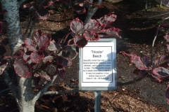 An unusual 'tricolor' beech