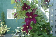 Clematis with very large flowers